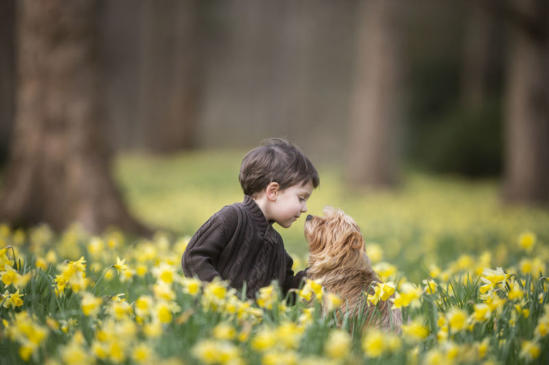 Boy is sitting on the ground on a daffodil field with his dog a yorkshire terrier - his best friend