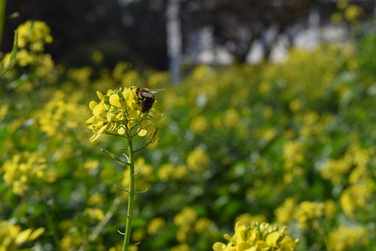 Beauty In Nature Bee Blooming Botany Close-up Day Flower Focus On Foreground Fragility Freshness Green Color Growth In Bloom Insect Nature No People Outdoors Petal Plant Pollination Selective Focus Stem Tranquility Wildlife Yellow