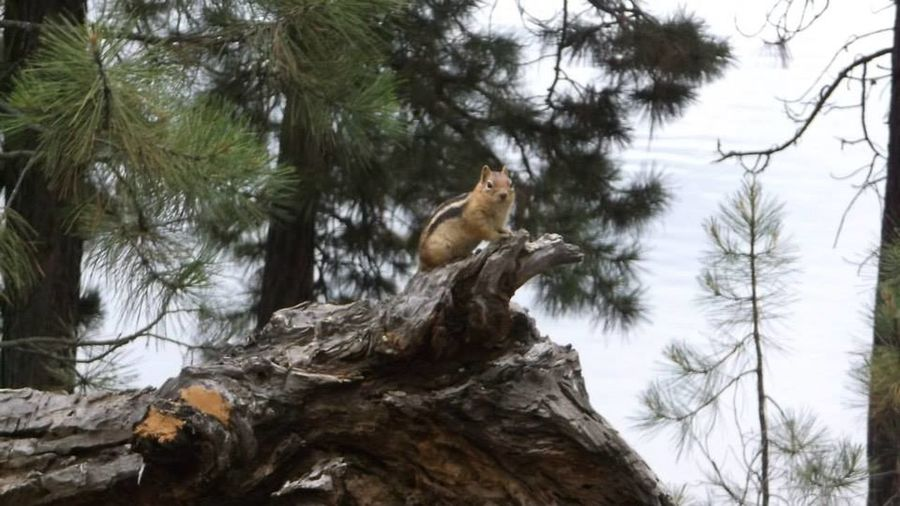 Animal Themes Beauty In Nature Nature Branch Chipmunk Chipmunk Photography Day Distance Green Low Angle View Natur No People Non-urban Scene One Animal Perching Scenics Tranquility Tree Tree Trunk Zoology