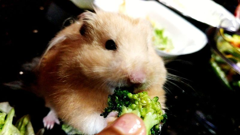 He eats his veggies for sure. Human Hand Human Body Part Close-up One Person Vegetable Indoors  Lifestyles Pets Food Domestic Animals Day People Mammal Freshness Adult Hamster Love