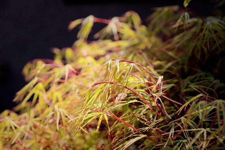 Maple Japanese