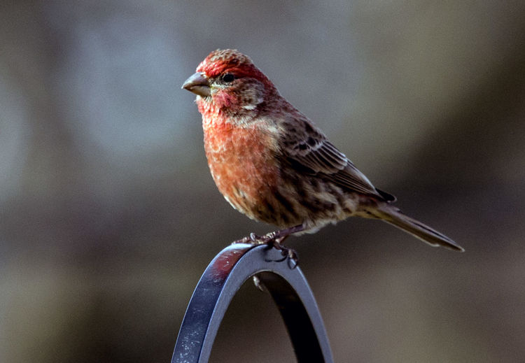 Red belly House Finch Animal Themes Animal Wildlife Animals In The Wild Bird Close-up Day Focus On Foreground Nature No People One Animal Outdoors Perching