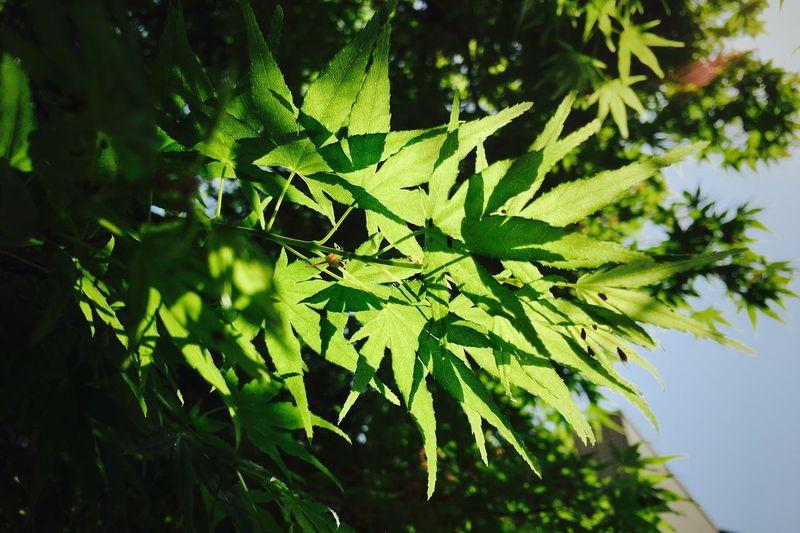 日差しに透ける。 もみじ 若葉 Maple New Leaves 日差し Sunlight