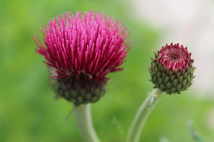 Botanical Lostgardensofheligan Garden Photography Flowers Flowerporn EyeEm Nature Lover Closeup In Nature Floral Pink Green Bokeh Nature