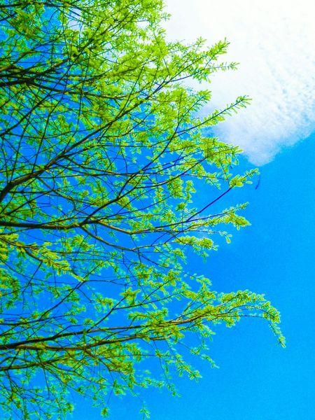 新綠 Natural Beauty Green Leaves Greenery Green Green Green!  Green Tree_collection  Blue Sky Clouds EyeEm Nature Lover Sky_collection Sky And Clouds Tree And Sky Springtime Clouds And Sky Bright Green Bright Green Trees Bright Green Leaves Yellow Green Light Green Soft Green Verdant Nature_collection Naturelovers Beauty In Nature My Favorite Photo