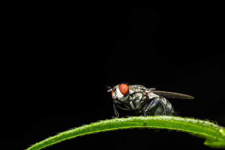 Close-up of housefly on leaf against black background