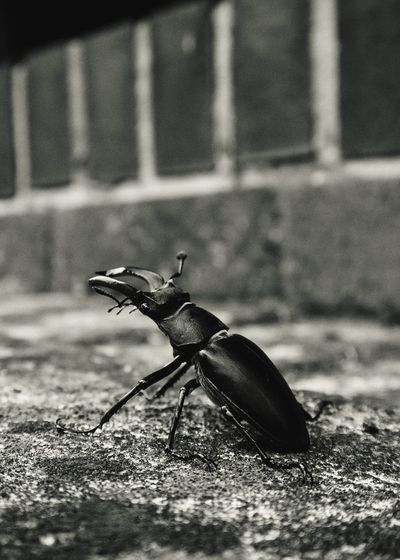 A visitor Blackandwhite Black & White Stag Beetle Beetle Insect Photography Insects  Nature_collection Nature_perfection