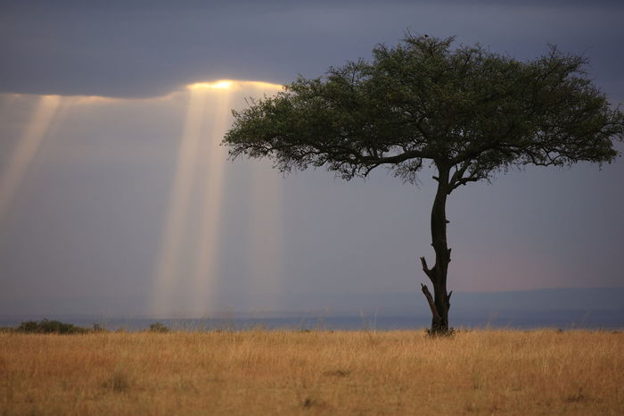 sunbeams in the Maasai Mara, Kenya Africa Garden Eden Heavens Above Heavens Door Heavens Entrance Heavens Gates  Kenya Light From Above Light From God Light From Heaven Light From The Sky Maasai Mara National Parks Kenya Scenics Solitaire Tree Sunbeam The Sign Tree