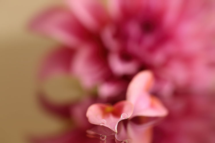 Flower Pink Color Fragility Nature Petal Close-up Plant Beauty In Nature Growth Freshness Flower Head No People Outdoors Day Water Reflections Beauty In Nature Macro Macro Photography Purity Pink Color Nature Water Drops