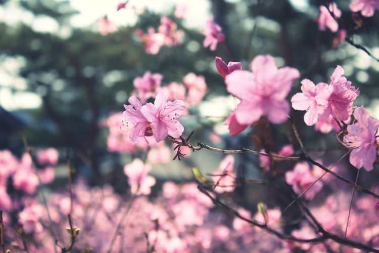 Flower Pink Color Blossom Fragility Nature Petal Plant Beauty In Nature Springtime Day Close-up No People Flower Head Focus On Foreground Outdoors Growth Branch Freshness Tree Spring Spring Flowers Spring Time Landscape EyeEmNewHere EyeEm Best Shots