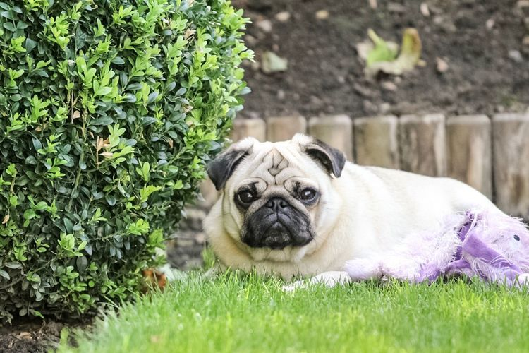 Our baby boy. One Animal Dog Pug Mammal Outdoors Pets Animal Themes Domestic Animals Day Nature Grass Looking At Camera Plant No People Portrait Canon1300d Canon EF 70-200 F4 Pet Portraits