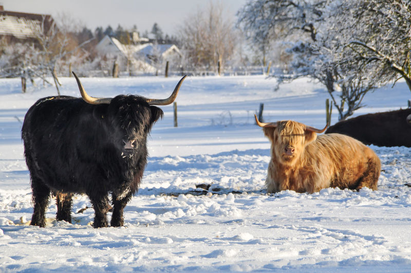 A black and a beige highland cattle on snow-covered paddock. the longhorns are shining in the white