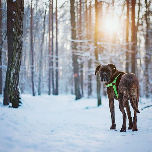 Dog Pets One Animal Winter Tree Animal Themes Cold Temperature Sunset Animal Domestic Animals Snow Sun Landscape Mammal Nature No People Outdoors Black Labrador Day Boxer Dogs Boxer Taking Photo Travel Exploring EyeEm Best Edits