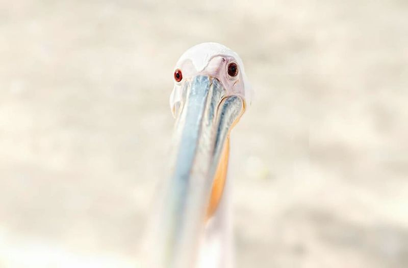 Pelican Pelican Bird Red Eyes Bird Egypt Zoo Egyptian Zoo Alone Hungry Scary Bird Sharm El-Sheikh