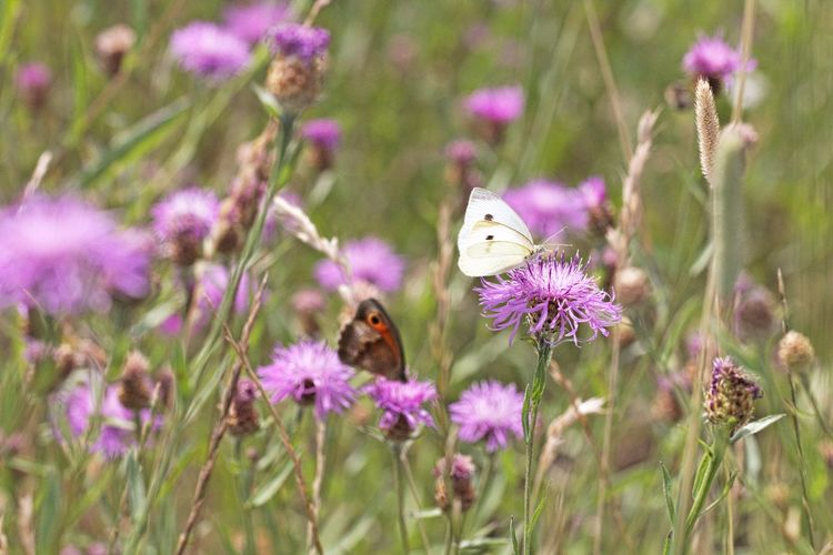 Pollination Butterfly - Insect Close-up Flower Head Petal Vulnerability  Animals In The Wild Animal Wildlife Beauty In Nature Freshness Animal Themes Insect Flower Animal Fragility Nature Purple Insect Photography Insect Paparazzi Scenics - Nature Flowerbed Flower Collection Flowers, Nature And Beauty Flower Photography Beautiful Beautiful Nature Natural Beauty Lovely Meadow Meadow Flowers Field Fieldscape Nature Is Art Nature Is My Best Friend Nature Is My Sanctuary 🌳💚 EyeEm Nature Lover EyeEm Gallery Eye4nature Eye4photography