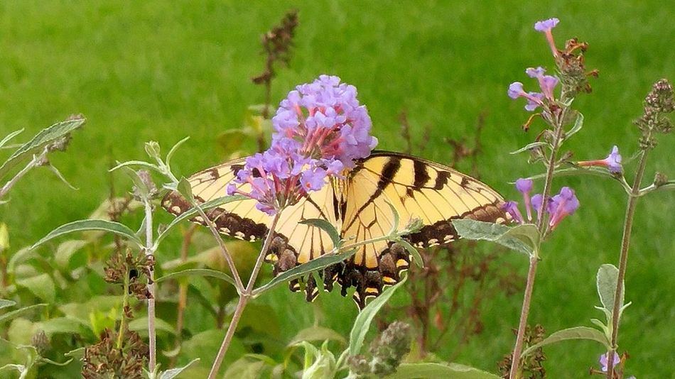 Life anew Butterfly Tiger Swallowtail