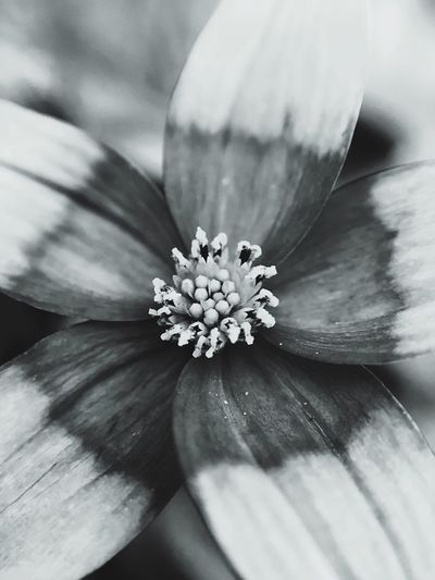 Flower macro Flower Fragility Beauty In Nature Nature Flower Head Freshness Close-up Petal Growth Pollen Outdoors Day No People Water Passion Flower Mobile Photography Monochrome Photography Macro Photography Macro Maximum Closeness