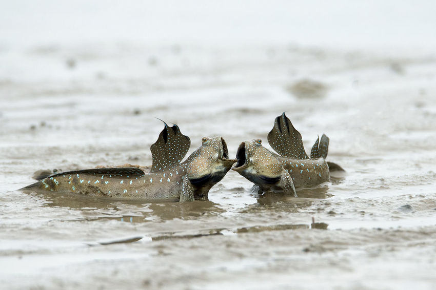 The fighting fish, mudskipper battle on mud land Amphibious Animal Wildlife Animals In The Wild Bulging Eyes Fighting Fish Fins Fish On Land Mouth Open Mud Mud Hopper Fish Mudskipper Nature Periophthalmus Sea Walking Fish Water