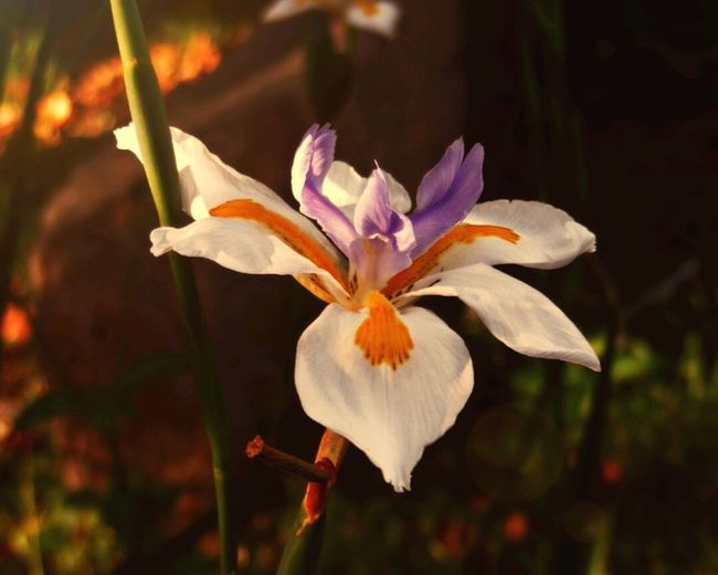 Took this picture of a native Australian Iris in my mates backyard. The geometry, colours and design are incredible. Native Australian Iris Flower Soft Light Aussie Flora