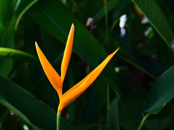 Yellow Flower Yellow Color Heliconia Flower Flower Head Flower Water Leaf Bird Of Paradise - Plant Petal Close-up Plant Tropical Flower Flowering Plant