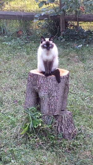 Beautiful Cat Cat Posing Domestic Cat Feline Looking At Camera Mammal No People Pets Portrait Regal Cat Siamese Siamese Cat Stump
