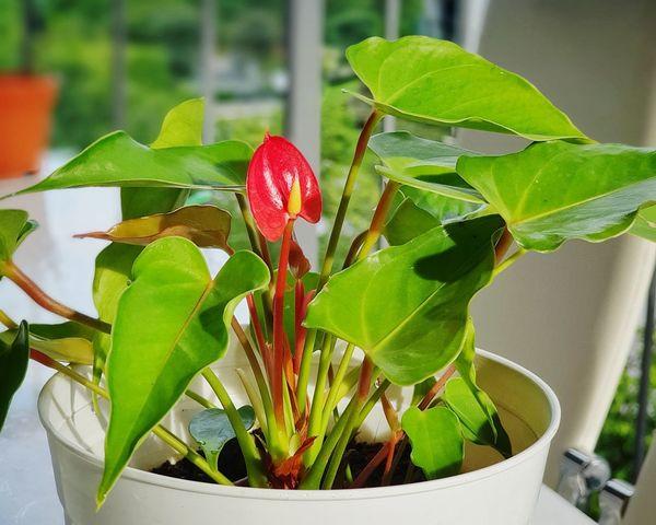 Redanthuriym A New Beginning Flower Leaf Potted Plant Close-up Plant Green Color