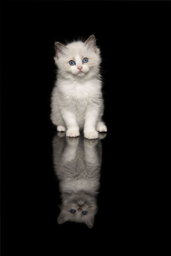 Portrait of white cat against black background