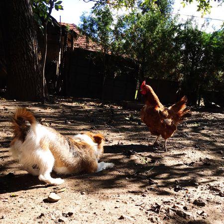 Interspecies games Farm Life Farm Quarrel Animal Games Animal Chıcken Puppy Dog Domestic Animals Animal Themes Livestock Mammal No People Chicken - Bird Outdoors Day Sunlight Nature Tree Pets Bird