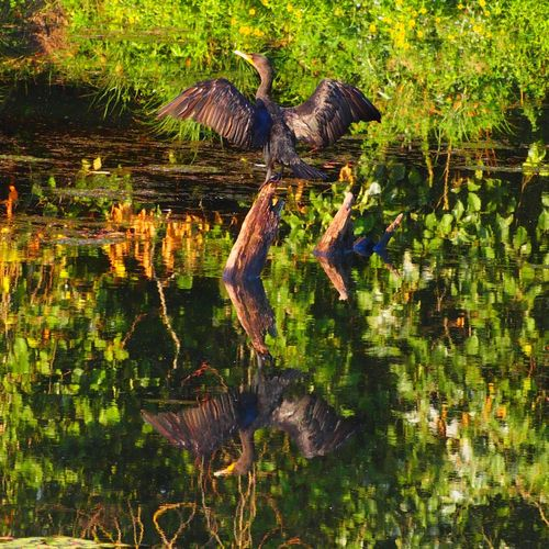 Cormorant  dries his or her wings in the early morning light at Delta Ponds Bird Photography Birds_collection Birdwatching EyeEm Birds Birds Of EyeEm
