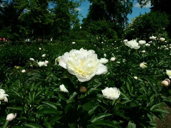 Russia Moscow Gorky Park Peony  пион No Filter Flower Collection