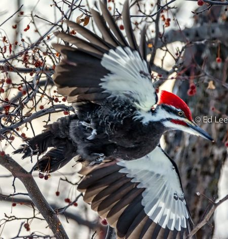 Pileated Woodpecker at 1/800 with 500mm lens Streamzoofamily Malephotographerofthemonth Birds Of EyeEm  Woodpecker Pileated Woodpecker Bird Animals In The Wild One Animal Animal Themes Animal Wildlife Branch Spread Wings Nature Beauty In Nature Close-up Outdoors Beak