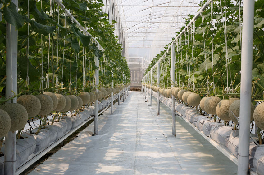 Farm Melons Agriculture Day Greenhouse Growth In A Row Indoors  Nature No People Plant Plant Nursery