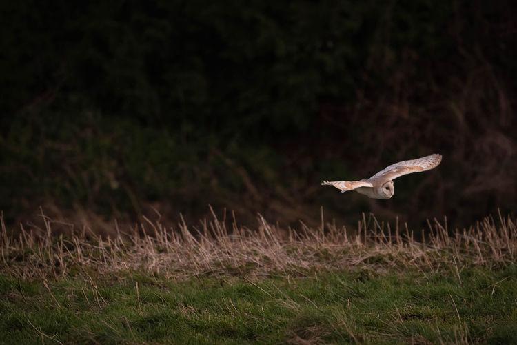 Barn owl flying in a field