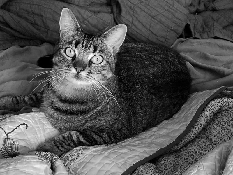 Tranquility Pet Cats Rule Cat Eyes Cat Eyes Watching You Gray Tabby Pets Portrait Feline Bed Domestic Cat Looking At Camera Whisker Close-up Tabby Cat Cat Quilt Blanket At Home