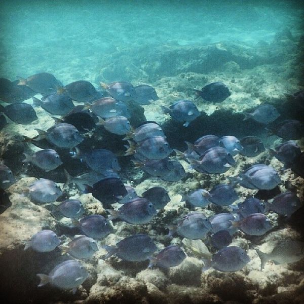 School of blue tangs aka Dorys! Fish Bluetang Dory Justkeepswimming  findingnemo caribbeansea