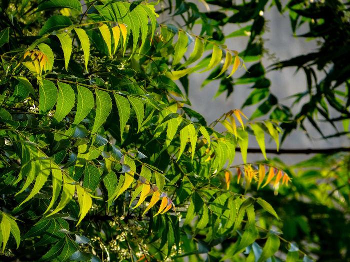 Close-up of fresh green neem leaves
