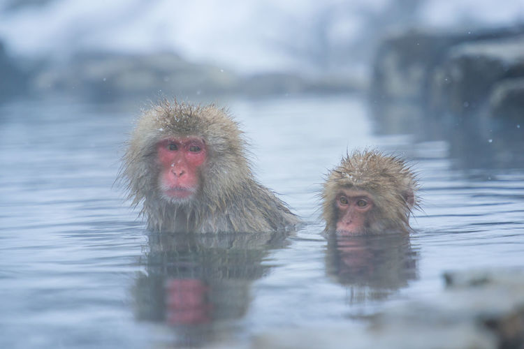 Snow monkey in a hot spring, Nagano, Japan. Animal Animal Family Animal Head  Animal Themes Animal Wildlife Animals In The Wild Cold Temperature Group Of Animals Hot Spring Japanese Macaque Lake Mammal Monkey No People Outdoors Primate Two Animals Vertebrate Water Waterfront Winter