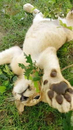 Lion - Feline One Animal Animal Themes Nature Animal Wildlife Young Animal Outdoors Grass Senegal Nursery Reserve Naturelle