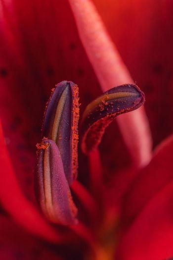 Stamen Nature Texture Detail Macro Close-up Stamen Velvet Flower Red Floral