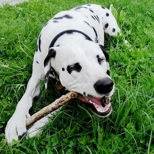 Hanging Out Taking Photos Hello World Cheese! Relaxing Enjoying Life My Beautiful Dog EyeEmBestPics Bestpicoftheday So In Love With This Dog❤ Dalmation JOY ❤️ Weekend Black & White