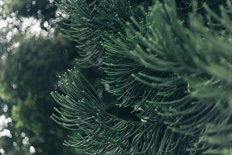 Green light leaves with blurred background Green Color Plant Growth Beauty In Nature Close-up Selective Focus Leaf Nature No People Plant Part Tree Day Pine Tree Outdoors Coniferous Tree Freshness Branch Water Needle - Plant Part Full Frame Fir Tree Leaves Purity