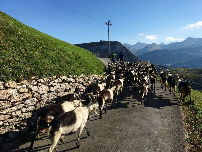 Goat Sky Domestic Animals Pets Domestic Mammal Mountain Animal Animal Themes Nature Group Of Animals