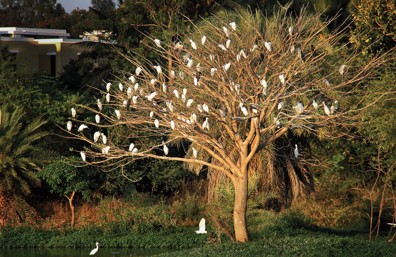 Beauty In Nature Birds Birds On Tree Cattle Egrets Cranes Flying Bird Nature No People Outdoors Tree