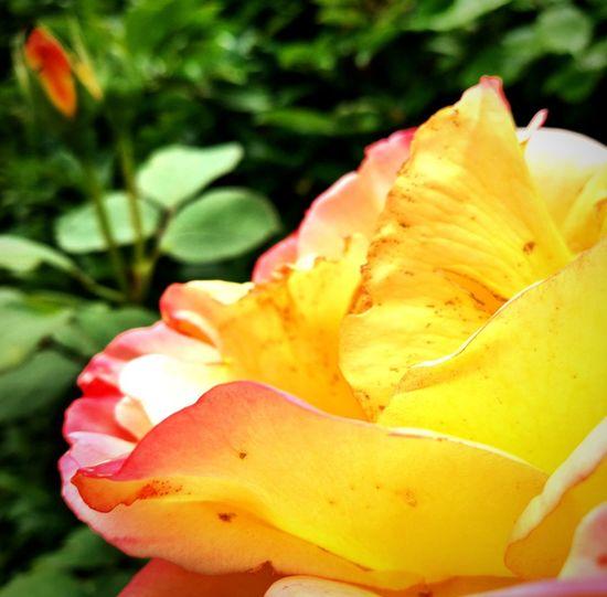Rose🌹 Rose
