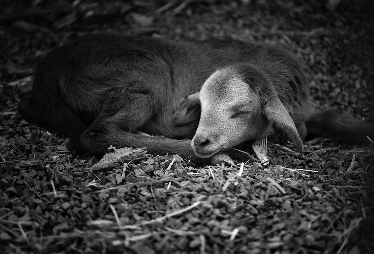 Goat sleeping in a field