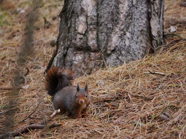 Red Squirrel Animal Themes Animal Wildlife Animals In The Wild Close-up Day Mammal National Trust 🇬🇧 Nature No People One Animal Outdoors Rodent Squirrel Tree