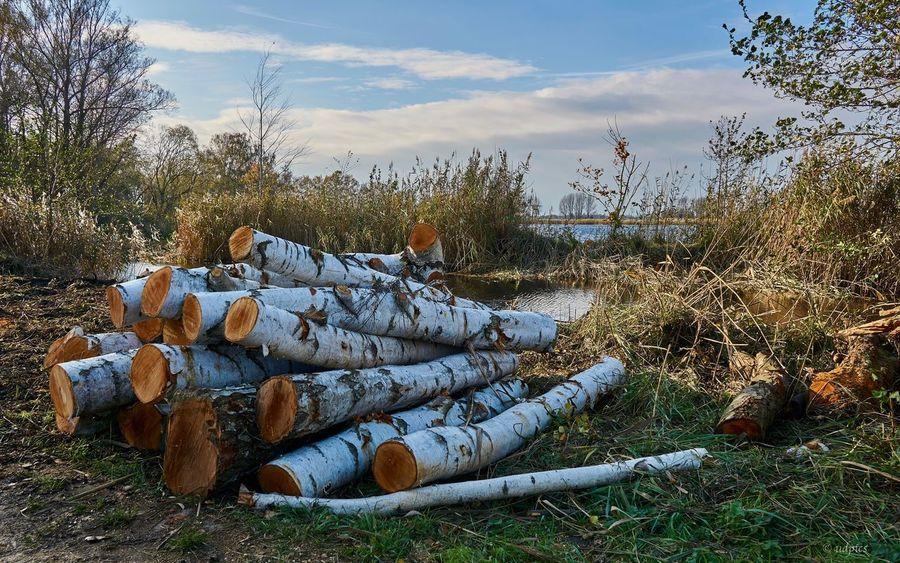 Birkenstämme Linum Linumer Teichlandschaft Lsndscape Holzhaufen  Birkenstämme