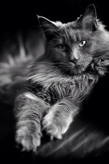Laid Back Ozzy Ozzome Mainecoon Cat Blackandwhite