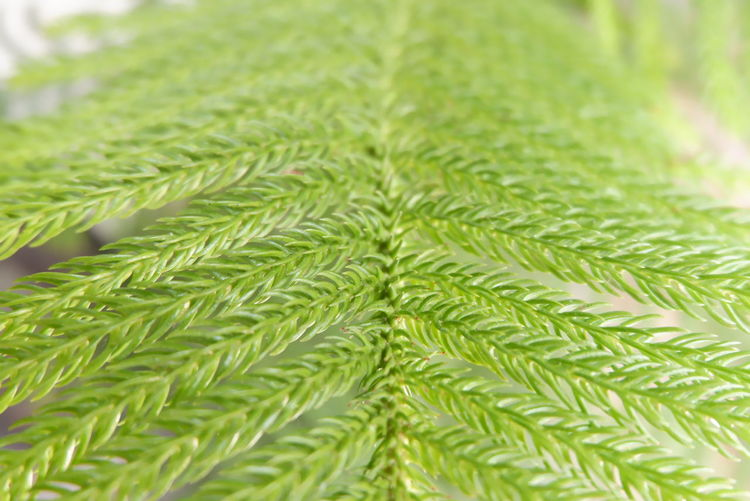 Green Green Color Leafs Nature Nature Photography Pine Tree Background Background Defocus Background Designs Background Photography Background Texture Backgrounds Close-up Fir Greenhouse Leaf Leaf Vein Leafs Photography Nature_collection Naturelovers Pine Tree Wallpaper