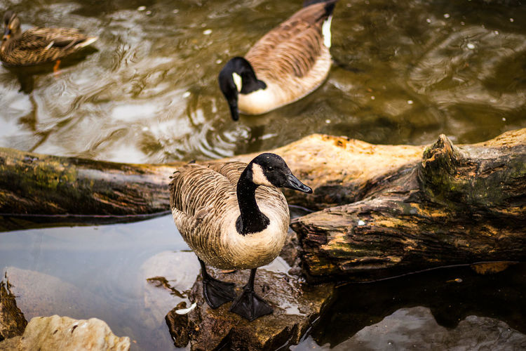 High angle view of canada geese